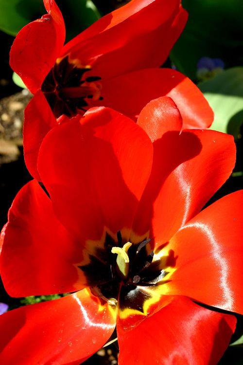 Tulips700