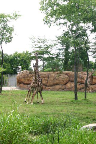 Giraffes700