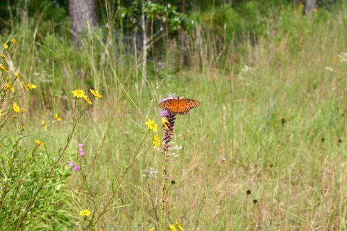 Butterfly 700